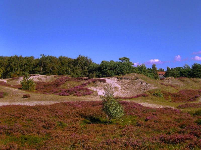 blühende Dünenheide auf der Insel Hiddensee